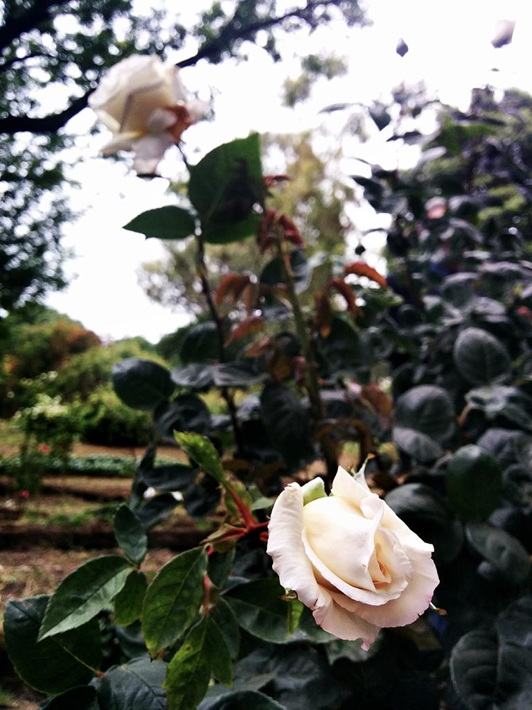 La rosa Ilaria Alpi